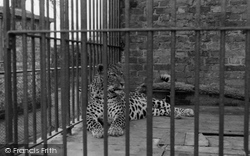 Chessington, Zoo, Leopard 1951