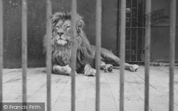 Chessington, Zoo, Lion c.1951