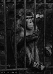 Chessington, Zoo, Monkey c.1951