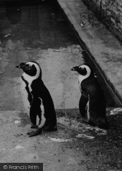 Chessington, Zoo, Penguins c.1951