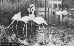 Chessington, Zoo, Rosy Flamingo c.1960