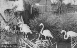 Chessington, Zoo, Rosy Flamingo c.1965