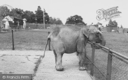 Chessington, Zoo, The Baby Elephant c.1965