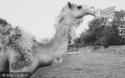 Chessington, Zoo, The Camel c.1965