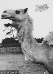 Chessington, Zoo, The Camel c.1965