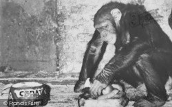 Chessington, Zoo, The Chimpanzee c.1965