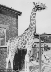 Chessington, Zoo, The Giraffe c.1965