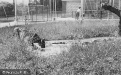 Chessington, Zoo, The Tiger c.1965