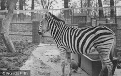 Chessington, Zoo, Zebra c.1951