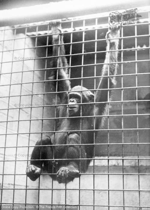 Photo of Chester Zoo, A Baby Chimpanzee c.1955