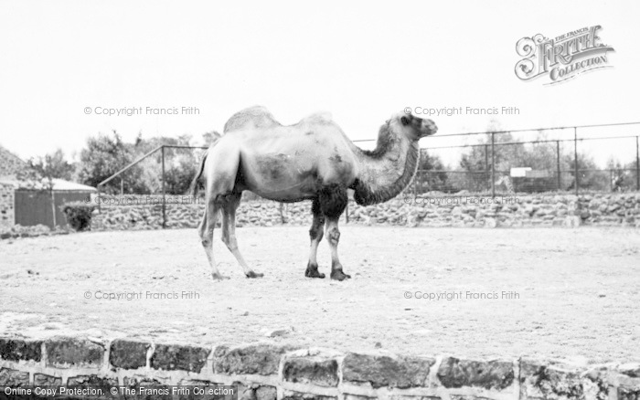 Photo of Chester Zoo, A Camel 1957