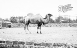 Chester Zoo, A Camel 1957