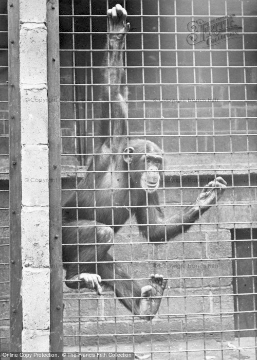 Photo of Chester Zoo, A Chimpanzee c.1955