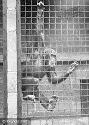 Chester Zoo, A Chimpanzee c.1955