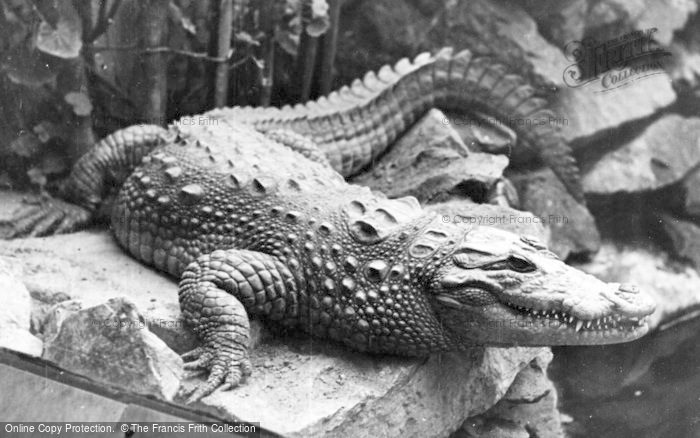 Photo of Chester Zoo, A Crocodile c.1955