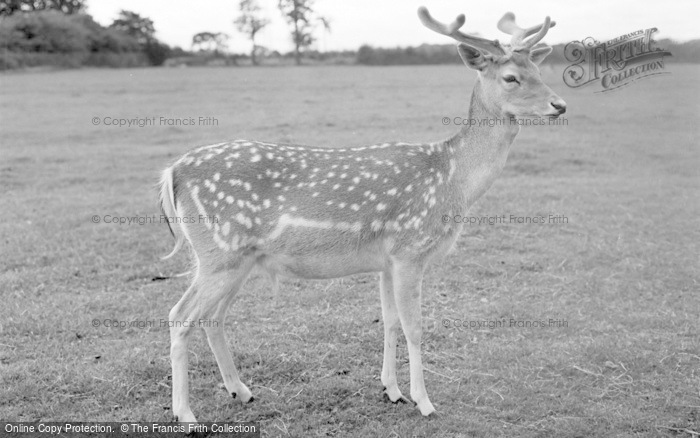 Photo of Chester Zoo, A Fallow Deer 1957