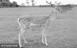 Chester Zoo, A Fallow Deer 1957