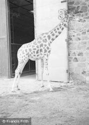 Chester Zoo, A Giraffe 1957
