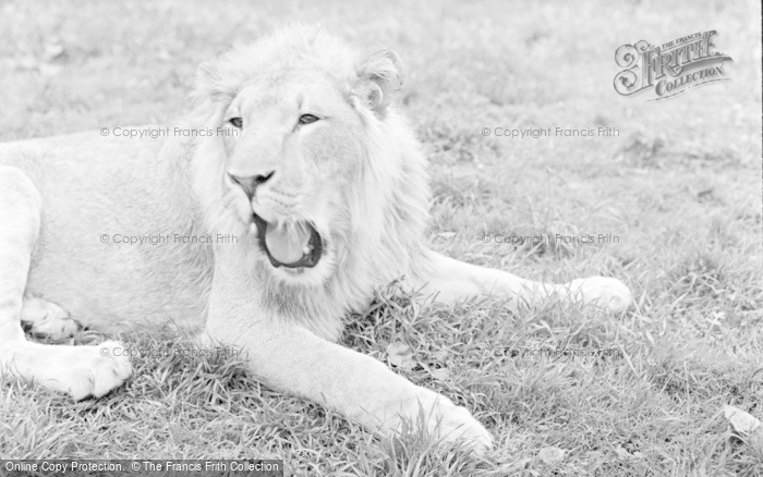 Photo of Chester Zoo, A Lion 1957
