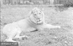 Chester Zoo, A Lion 1957