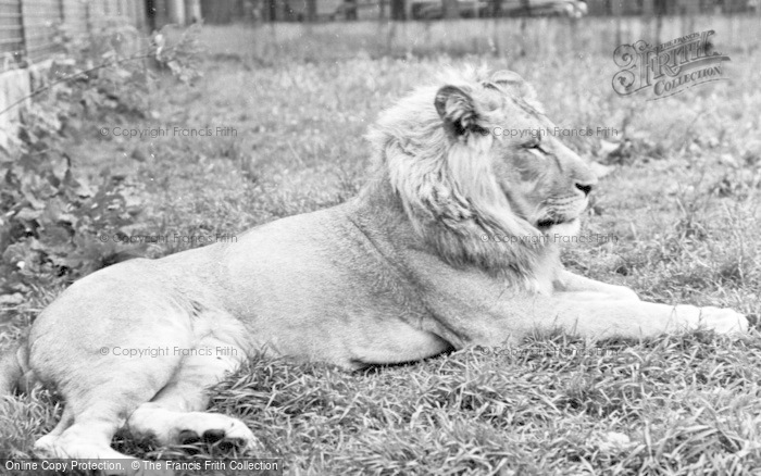 Photo of Chester Zoo, A Lion c.1960