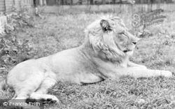 Chester Zoo, A Lion c.1960