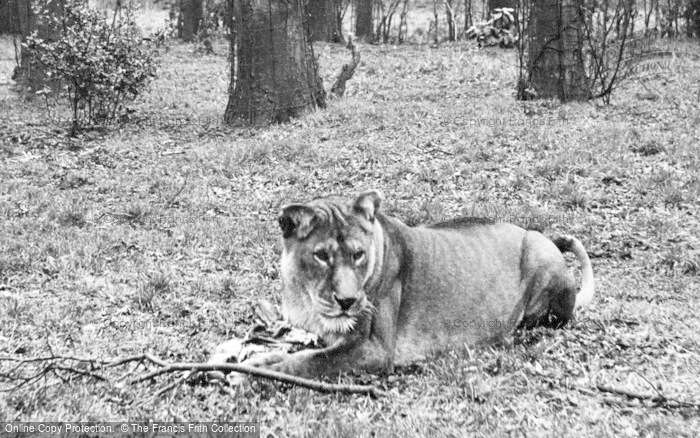 Photo of Chester Zoo, A Lioness c.1950