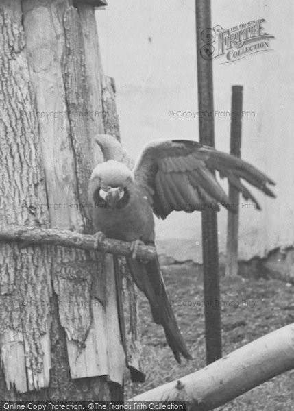 Photo of Chester Zoo, A Parrot c.1955