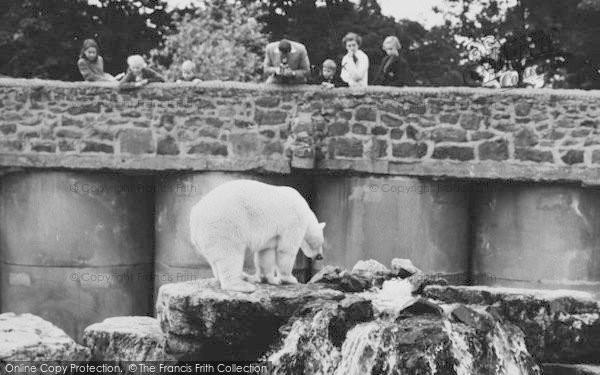 Photo of Chester Zoo, A Polar Bear 1957