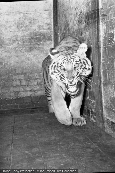 Photo of Chester Zoo, A Tiger 1957