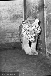 Chester Zoo, A Tiger 1957