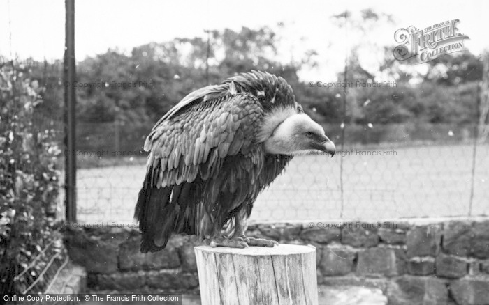 Photo of Chester Zoo, A Vulture 1957