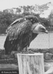 Chester Zoo, A Vulture 1957