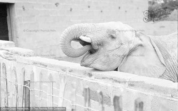 Photo of Chester Zoo, African Elephant 1957