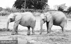 Chester Zoo, African Elephants 1957