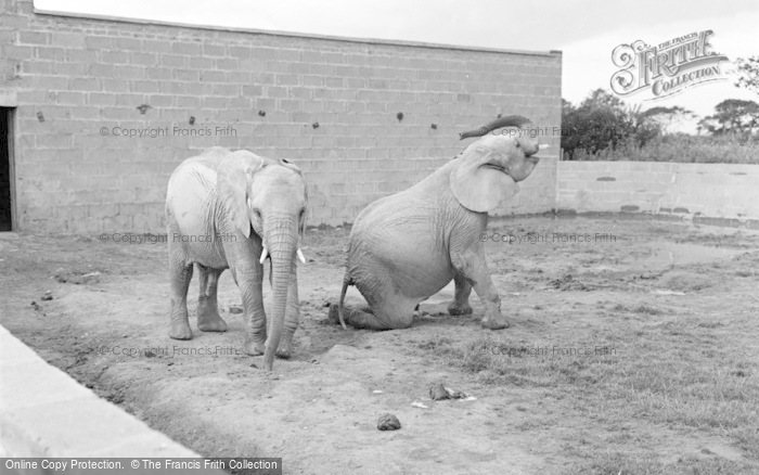 Photo of Chester Zoo, African Elephants 1957