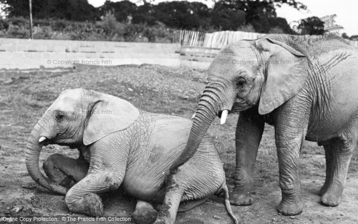 Photo of Chester Zoo, African Elephants c.1960