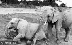Chester Zoo, African Elephants c.1960