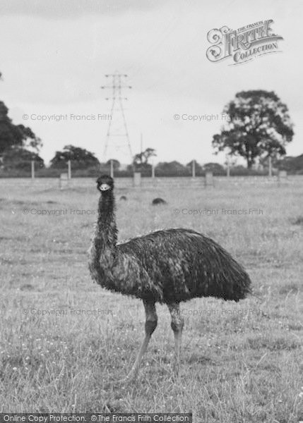 Photo of Chester Zoo, An Emu 1957