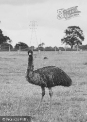Chester Zoo, An Emu 1957