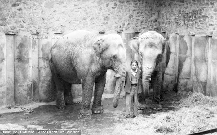Photo of Chester Zoo, Asian Elephants c.1950