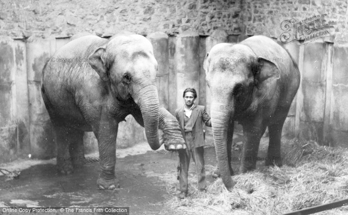 Photo of Chester Zoo, Asian Elephants c.1950