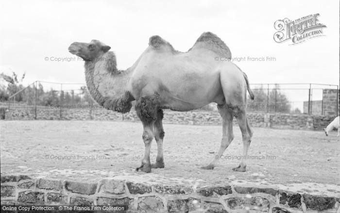 Photo of Chester Zoo, Bactrian Camel 1957