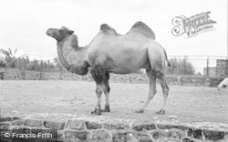 Chester Zoo, Bactrian Camel 1957