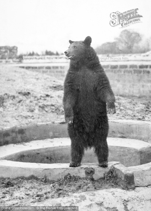 Photo of Chester Zoo, Black Bear Looking Hopefully For Tit Bits c.1955