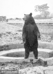 Chester Zoo, Black Bear Looking Hopefully For Tit-Bits c.1955