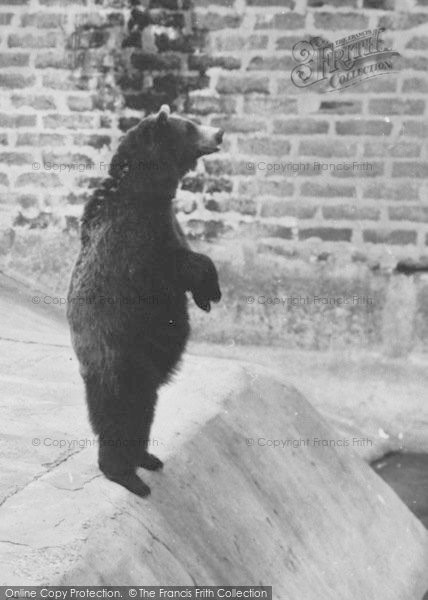 Photo of Chester Zoo, Brown Bear 1957