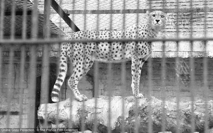 Photo of Chester Zoo, Cheeta c.1950