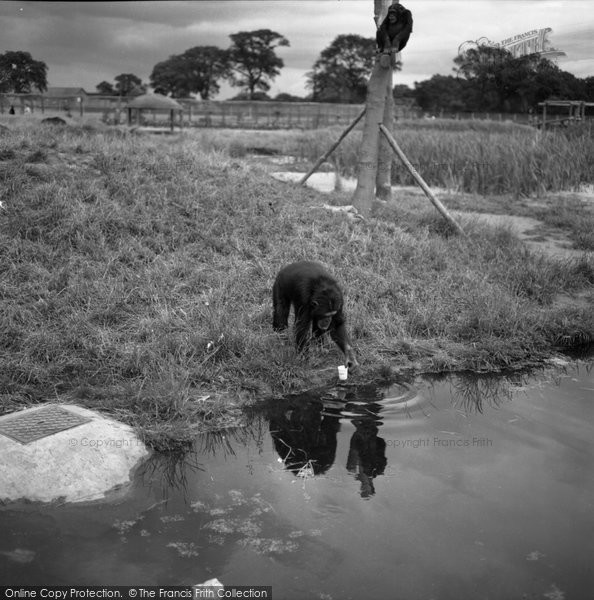 Photo of Chester Zoo, Chimpanzee Drinking 1957