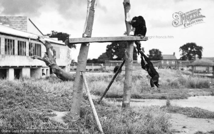 Photo of Chester Zoo, Chimpanzee Island 1957